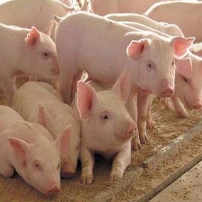 Оборудование для разведения свиней и поросят